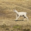 Baby Alpaca — Stock Photo