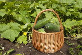 Basket of tresh cucumbers — Stock Photo
