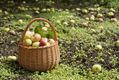 Apple hurvest in orchard — Stock Photo