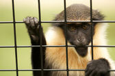 Caged vervet monkey. — Stock Photo