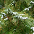 Spruce in the snow — Stock Photo #18874707