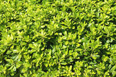 Shrub leaves — Stock Photo