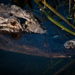 American alligator's head in the water — Stock Photo