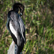 Anhinga resting on a water measure — Stock Photo