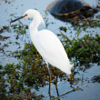 Snowy egret standing in dark water — Stock Photo