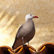 Heermann's gull on a roof — Stock Photo