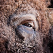 American bison eye — Stock Photo