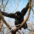 Siamang on a Y-shaped branch — Stock Photo