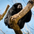 Siamang on a tree branch — Stock Photo