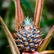 Small pineapple fruit — Stock Photo