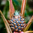 Stock Photo: Small pineapple fruit