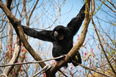 Siamang on a Y-shaped branch — Foto de Stock