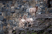 Bighorn sheep herd — Foto Stock