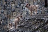 Bighorn sheep herd — Stock Photo