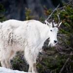 Постер, плакат: Mountain goat in the wild