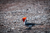 Red-crested cardinal holding food — Stock Photo