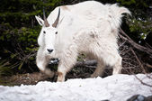 Mountain goat on the patch of forest bed — Stock Photo