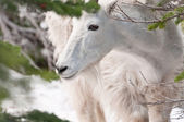 Mountain goat looks at the pine tree branch — Stock Photo