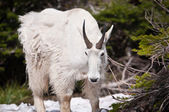 Mountain goat looks down — Stock Photo