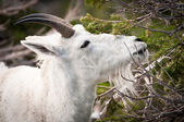 Mountain goat reaching for the spring snack — Stock Photo
