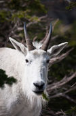 Mountain goat with pine spring in the mouth — Stock Photo