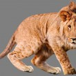 Royalty-Free Stock Photo: Lion