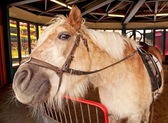 Shetland pony, Equus caballus, in the stable — Stock Photo