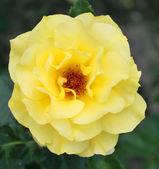 Beautiful yellow rose in a garden — Stock Photo