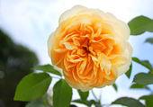 Beautiful orange rose in a garden — Stock Photo
