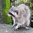 Royalty-Free Stock Photo: Racoon in the park