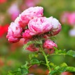Stock Photo: Bunch of wild roses