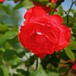 Stock Photo: Red rose in summer garden