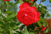 Red rose in the summer garden — Stock Photo