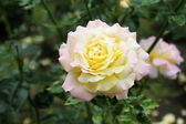 Gentle tea rose in the garden — Stock Photo