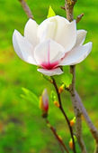 Magnolia flower — Stock Photo