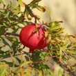 Branch with ripe pomegranate — Stock Photo
