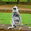 Stockfoto: Tufted Gray Langur