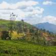 Stock Photo: Teplantation landscape in Sri Lanka