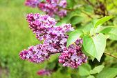 春天紫丁香花与绿枝 — 图库照片