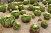 Giant cactus in Nong Nooch Tropical Botanical Garden, Pattaya, Thailand — Stock Photo