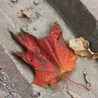 Red leaf on gray sidewalk — Stok Fotoğraf #13315192