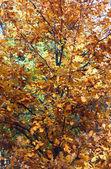 年轻橡木树在秋天 — 图库照片