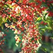 Branch with red berries — Foto de Stock