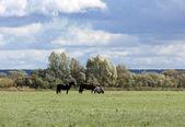 Horses on pasture — Stockfoto