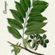 Botanical illustration of Ylang Ylang — Stock Photo