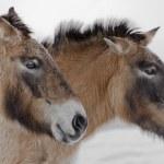 Przewalski horses — Stock Photo #14114187