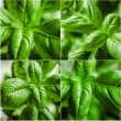 Basil — Stock Photo
