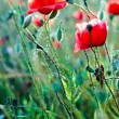 Red poppy — Stock Photo #28742447