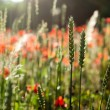 klatschmohn — Stockfoto #28742619