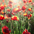 Red poppy — Stockfoto #28742797